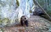 La plimbare: Un urs a fost filmat în Munţii Apuseni (VIDEO)