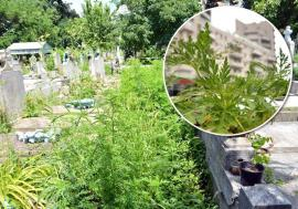 Prietenii ambroziei: Primarii din Bihor ignoră legea care îi obligă să stârpească ambrozia, cea mai alergenă buruiană