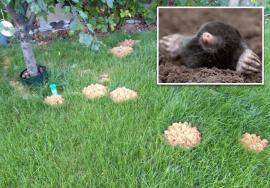 Inamicul din pământ: Cum poţi scăpa de cârtiţele care îţi distrug grădina?