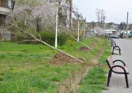 Restart la plantări! Primăria Oradea va planta anul acesta 500 de arbori, de cel puţin 4 metri înălţime