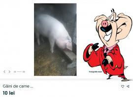 Când vor zbura porcii: Bihorenii scriu lucruri trăsnite ca să-şi vândă animalele pe internet