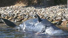 Balenă omorâtă de plastic