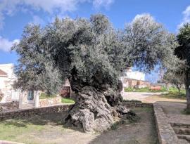 Măslin antic, dar productiv: La 2000 de ani, încă mai face fructe!
