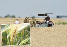 A dat boala-n grâu! Fermierii bihoreni se confruntă cu cea mai gravă infestare a grâului din ultimii 30 de ani