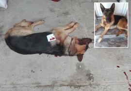 Crimă legală! Procurorii din Beiuş au închis dosarul vânătorilor care au împuşcat doi câini, dintre care unul mortal