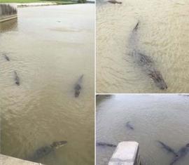 Crocodili de Criş: Poze cu lighioane uriaşe în apele Crişului Repede!