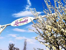 Bihorenii sunt invitaţi la Festivalul Primăverii, ţinut la o fermă de lavandă