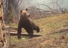 Musafir nepoftit: Urs filmat în curtea unei cabane de la Stâna de Vale (VIDEO)