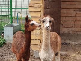 Două exemplare de alpaca, la Zoo Oradea (FOTO)