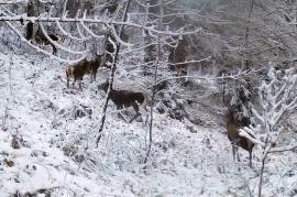 La joacă, în zăpadă: Imagini rare cu căprioare jucându-se, surprinse în pădurile din Apuseni (VIDEO)