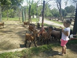 Capre şi oi cameruneze, la Zoo Oradea