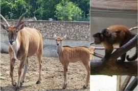 Pui de capucin brun şi antilopă elan, la Zoo Oradea (FOTO)