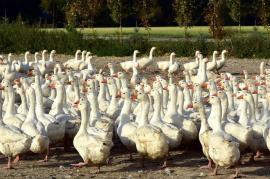 Gripa aviară, la doar 35 kilometri de Oradea! Virusul a fost descoperit la o fermă de gâște din Ungaria