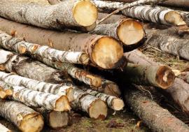 Poliţiştii din Bihor au capturat 4 transporturi ilegale de lemne pe drumuri dosite. Un hoţ a fost prins cu drujba în mână!