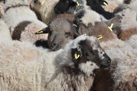 Măsuri speciale înainte de Paști: DSVSA Bihor anunţă că anul acesta se vor putea cumpăra miei direct de la fermieri. Ce condiţii trebuie respectate