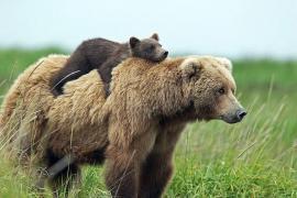 Undă verde pentru vânătoarea de urşi, care au fost scoşi de pe lista animalelor protejate