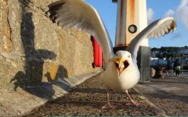 Anticoncepţionale pentru... pescăruşi: Planul unui oraş pentru a reduce numărul de păsări