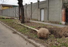 Direcția Silvică Bihor donează municipalității 6.000 de puieți pentru plantări în cartierele Tineretului și Grigorescu