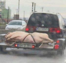 Imaginea sfârşitului de săptămână în Oradea: Cu porcul pe trailer!