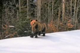 De la urșii schiori, la urșii apicultori...