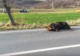 Inuman! Un urs rănit grav într-un accident de mașină a fost lăsat de autorități să agonizeze 18 ore pe marginea drumului! (VIDEO)