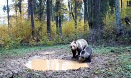 O ursoaică şi puiul ei, surprinşi de camerele de supraveghere din Parcul Apuseni (VIDEO)