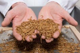 Tu ai mânca? Viermii galbeni de făină, declaraţi oficial un aliment în UE