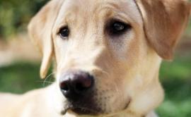 Întoarcerea din moarte. O familie din California și-a clonat labradorul care a salvat viața soției într-o excursie