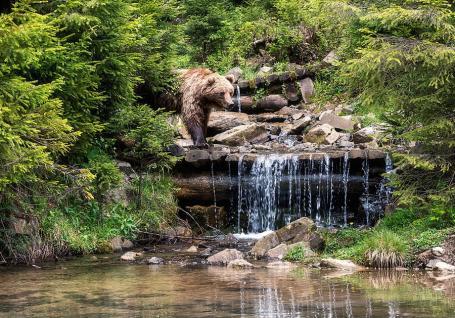 Omul şi ursul: Doi dintre urşii relocaţi în judeţul Bihor sunt de negăsit: Cine i-a făcut dispăruţi?